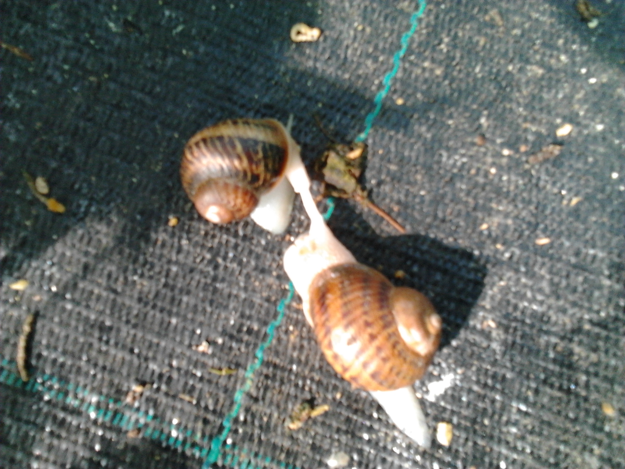 Cómo limpiar caracoles para su consumo