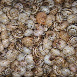 Caracoles Frescos Blanquillo 2,5KG